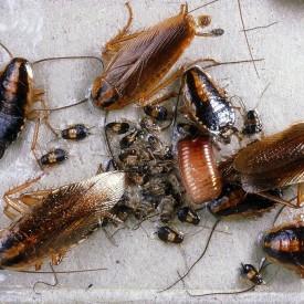 duitse_kakkerlakken